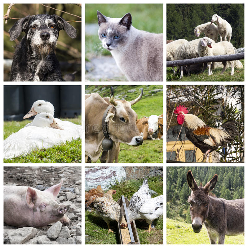 Farm animals collage. A collage of photos about farm animals royalty free stock photo