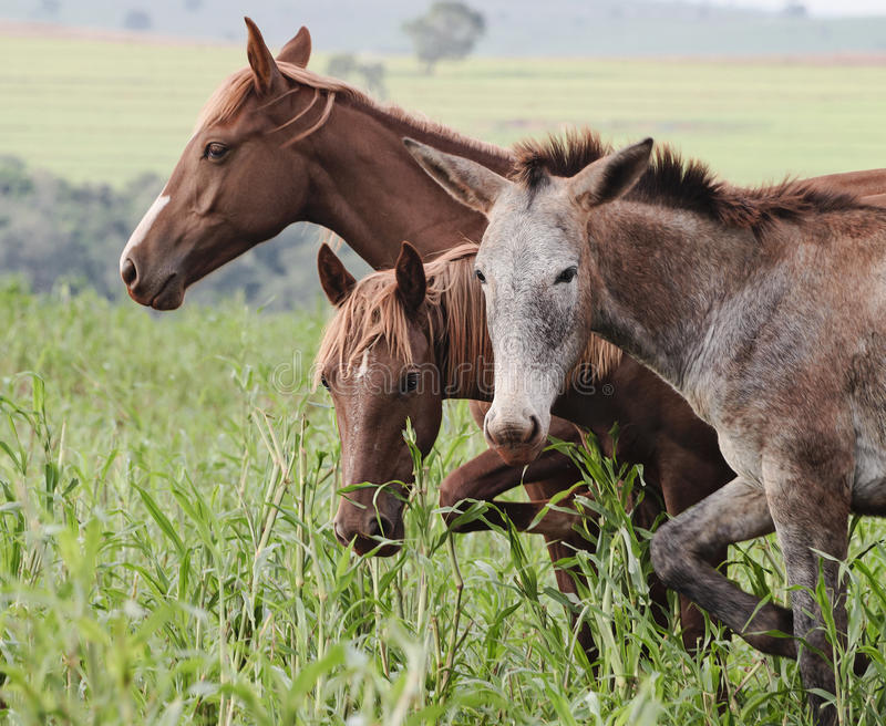 Farm animals: A donkey and two horses stock images
