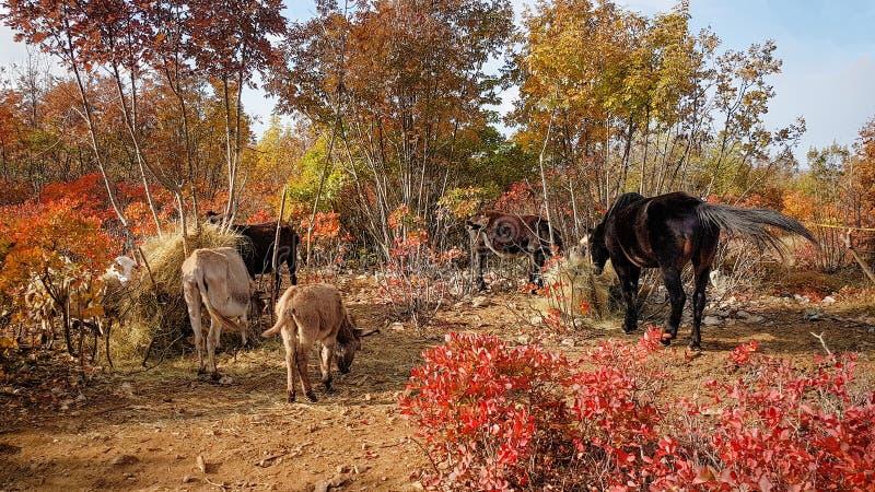 Farm animals grazing stock photos