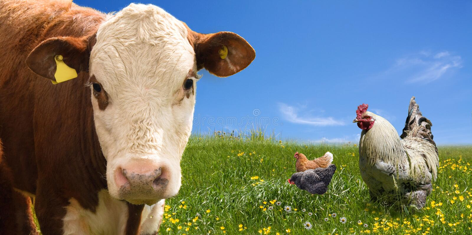 Farm animals on green field. Farm animals - chickens, and cow on the green field