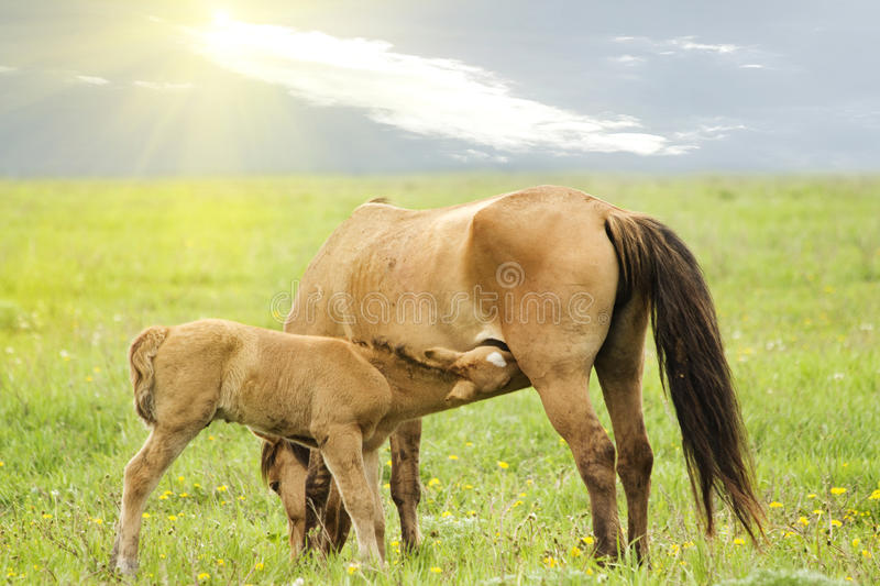 Farm animals horse coal. Farm animals horse and foal in the meadow against the sky stock image