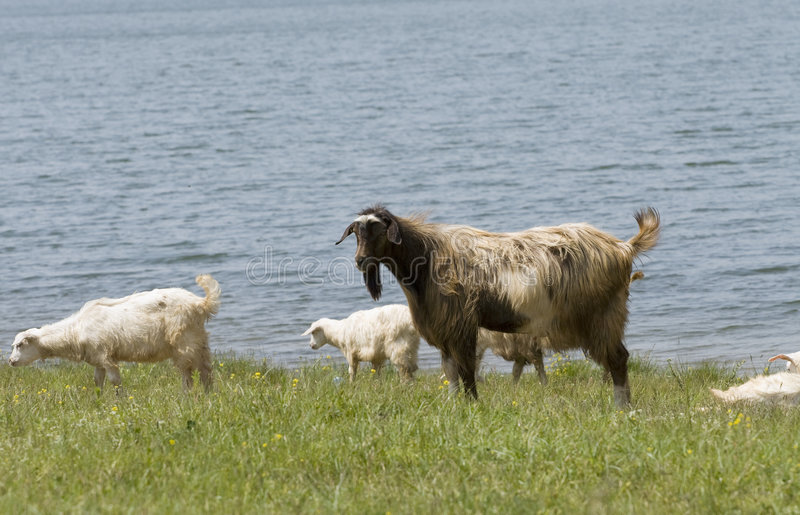 Download Farm Animals Near The Water Stock Photo - Image: 5229480