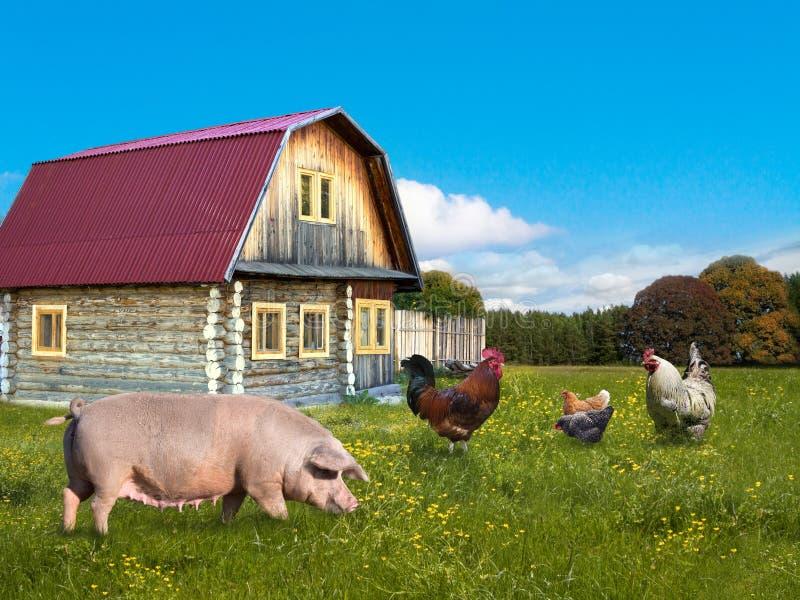 Farm animals pig and chickens stock photos