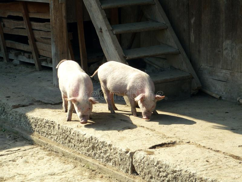 Farm animals, pigs roaming freely in village in China looking for treats. Image of two farm animals, pigs roaming around freely in the village in China looking stock photo