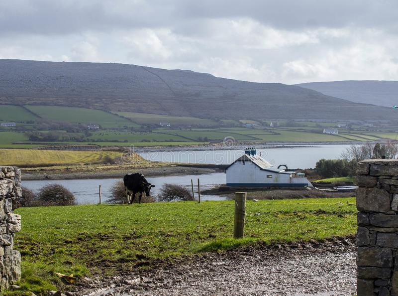 Dairy Farming at Flaggy Shore, Ireland royalty free stock photo