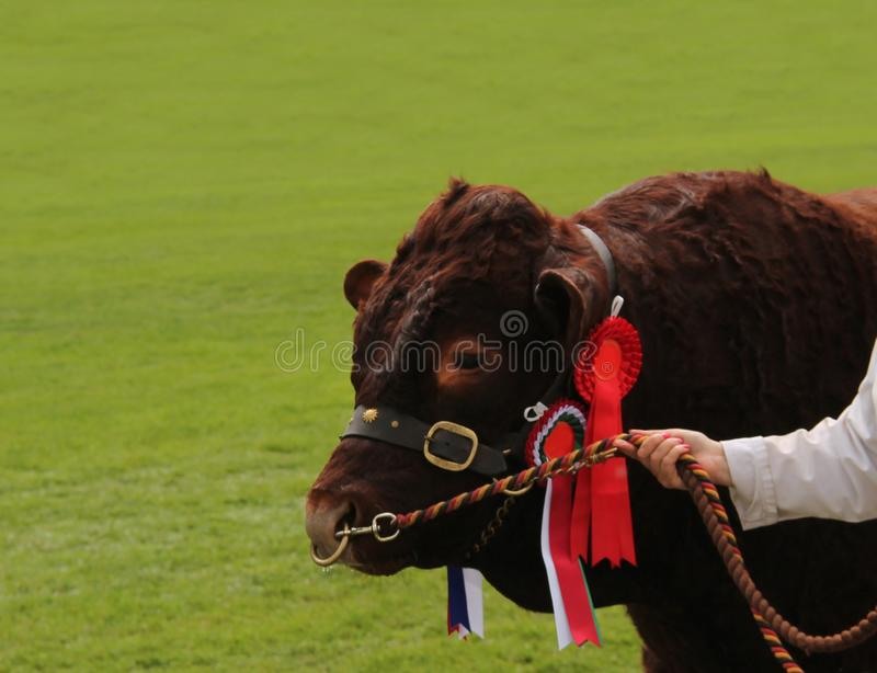 Farm Beef Bull Animal. A Championship Farm Beef Bull Animal on a Rope Tether royalty free stock images