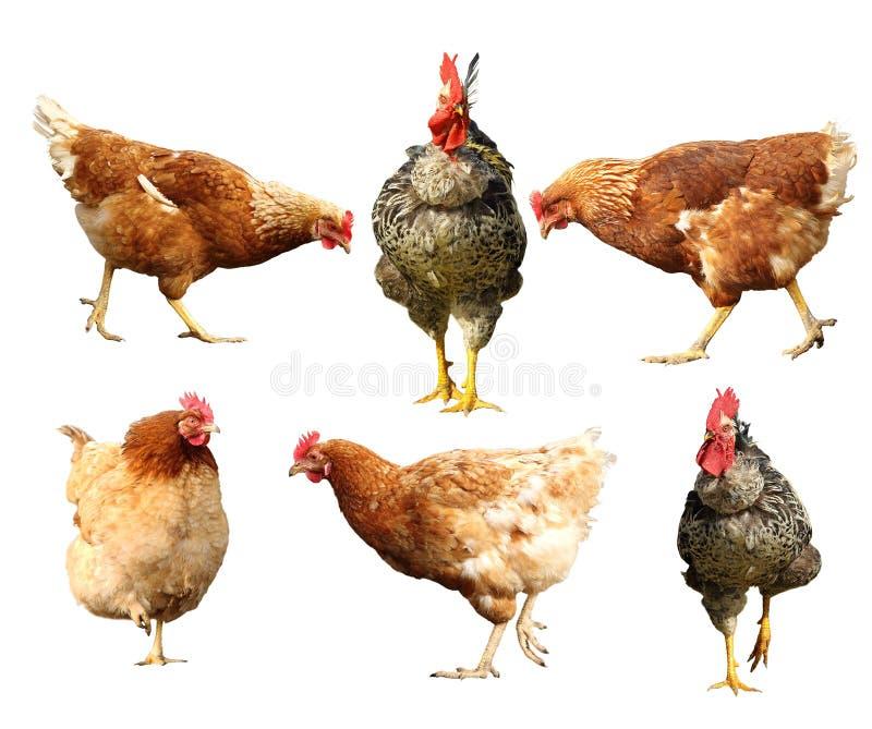 Farm birds on white stock image