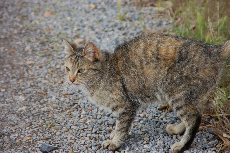 Farm cat on alert stock images