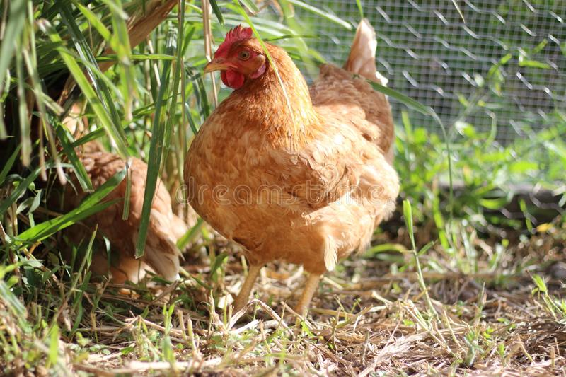 Farm Chicken Hen royalty free stock images