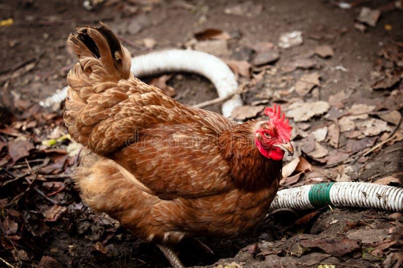 Farm chicken in the mud stock photos
