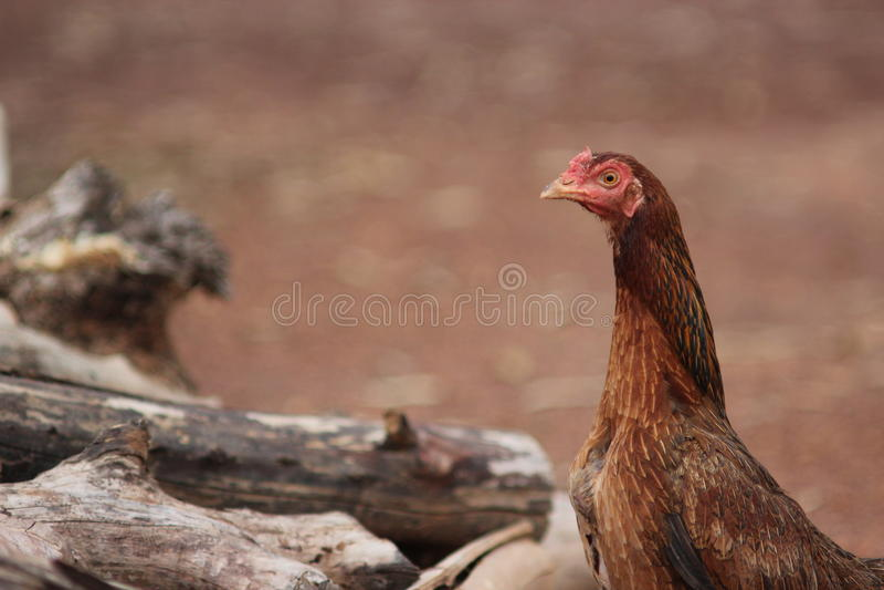 Farm chicken stock photo