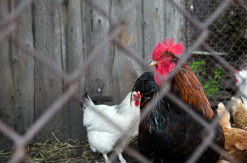 Farm chickens in their fence. View from behind the bars. Dark Tones stock photos