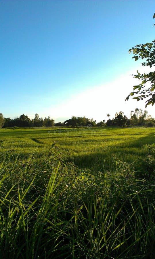 Farm Cornfield stock photo