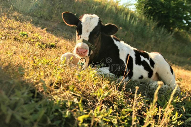 Farm cow grass pets love nature stock images