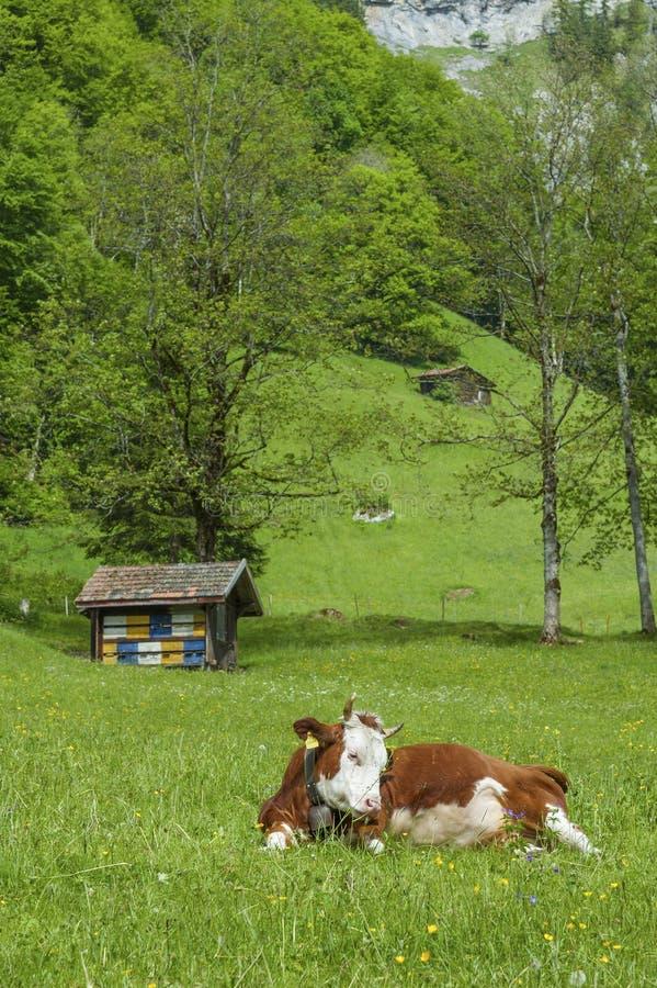 Farm. Cow in farm Lauterbrunnen valley in Bernese Alps, Swiss stock photos