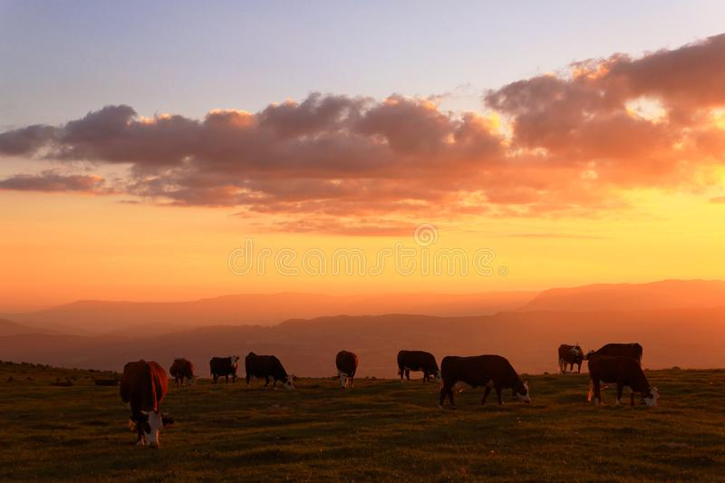 Farm cows on beautiful sunset royalty free stock photo