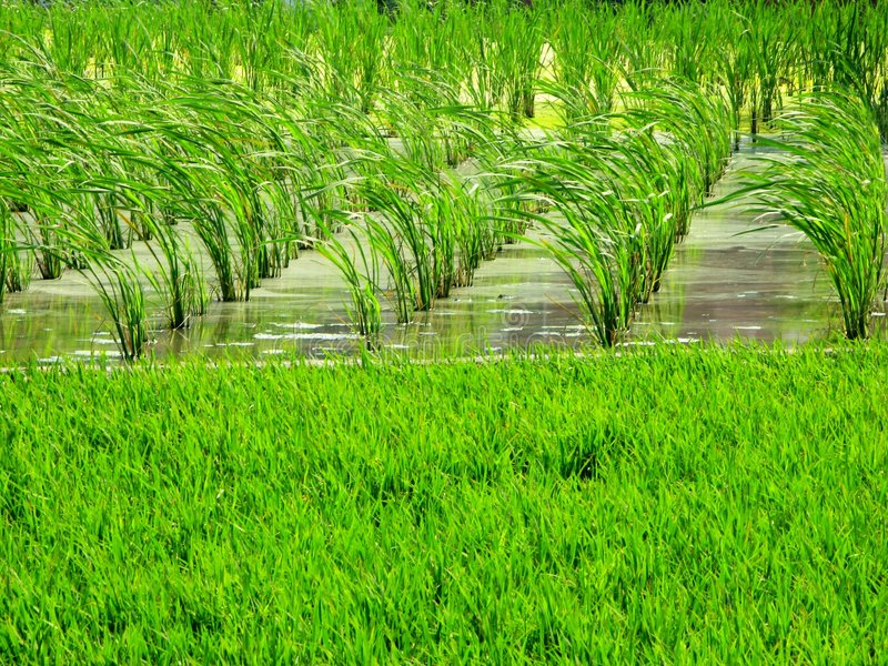 Farm crops - Water Bamboo, Duckweed. Farm crops - Water Bamboo and Duckweed in uper water mix become nice green, front leaf with wind feeling mix with rice stock photos