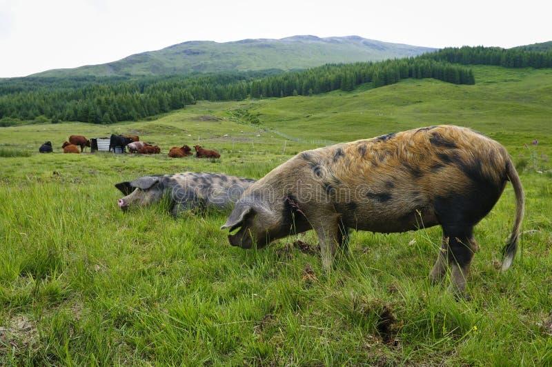 Tiere In Schottland