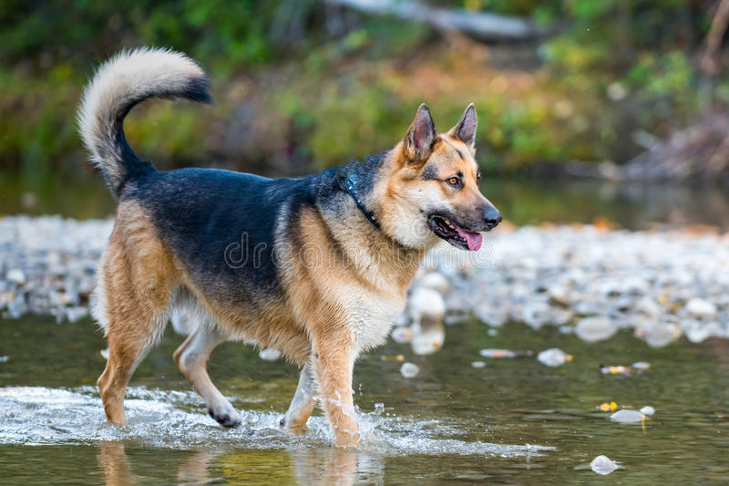 Farm Dog. German shepherd and alaskan malamute mixed breed dog playing in the forest royalty free stock photography