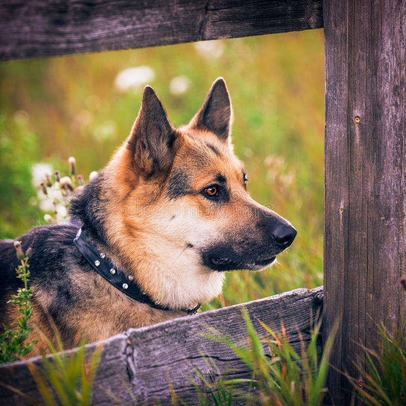 Farm Dog. German shepherd and alaskan malamute mixed breed dog playing in the forest royalty free stock photos