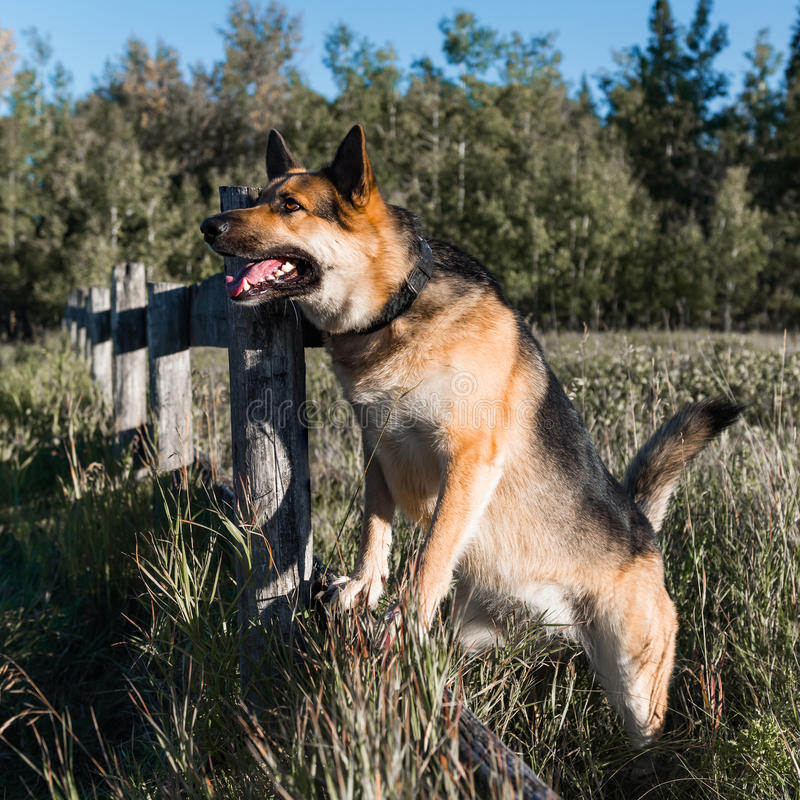 Farm Dog. German shepherd and alaskan malamute mixed breed dog playing in the forest stock photos