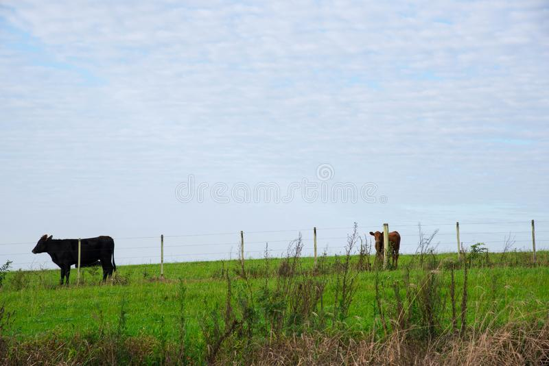 The farm enclosure and cows. Herd of cattle in containment area. Meat production for human consumption. Breeding farm in southern Brazil. Agriculture and stock photo