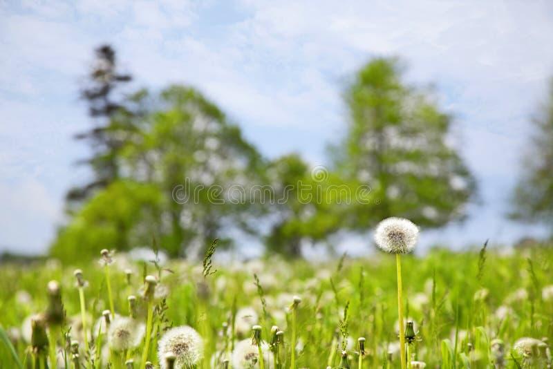 Farm Field of Dandelions stock images