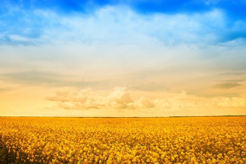 Farm field of golden flowers stock photos