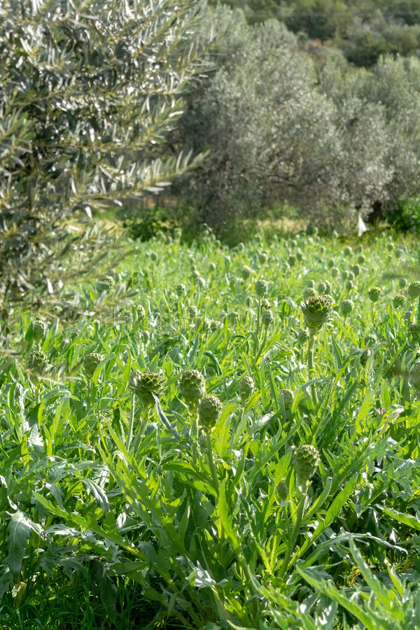 Farm field with green artichoke plants with ripe flower heads ready to new harvest stock photography