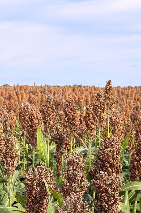 Free Farm Field Of Milo-sorghum,fall Harvest Stock Photography - 46700682