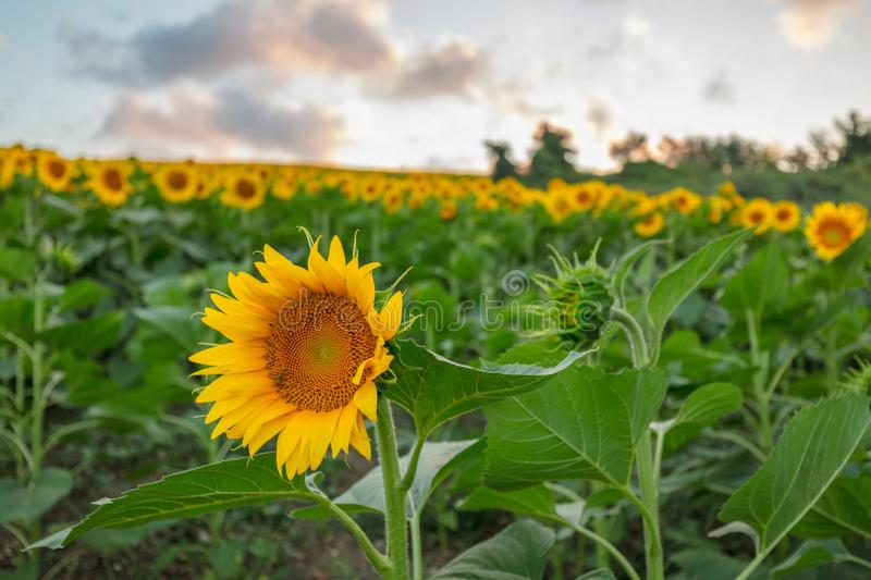 Farm field of sunflowers and cloudy sky royalty free stock images