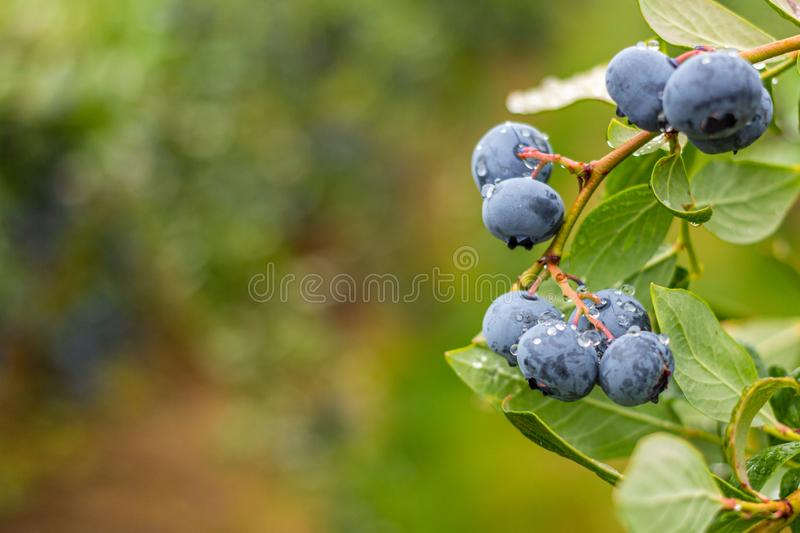Farm fresh blueberries on vine with copy space. stock photography