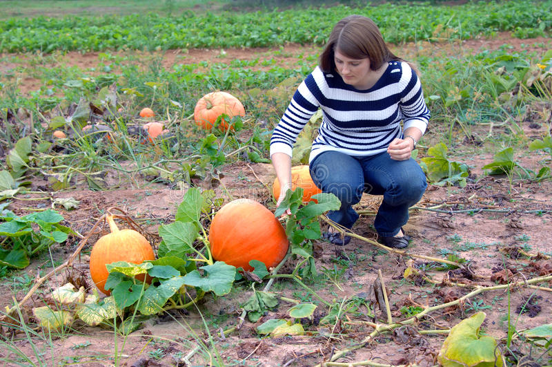 Farm Fresh Pumpkin royalty free stock image