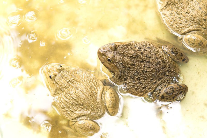 Farm frog. The big and small frog in pond stock photography