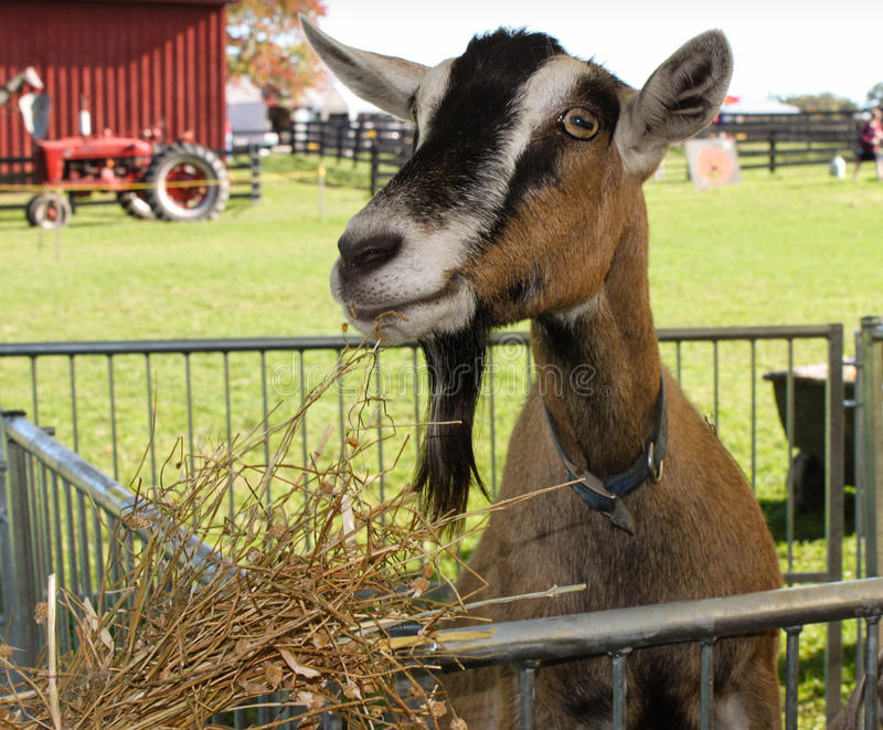 Download Farm Goat stock image. Image of agriculture, outdoor - 28078835