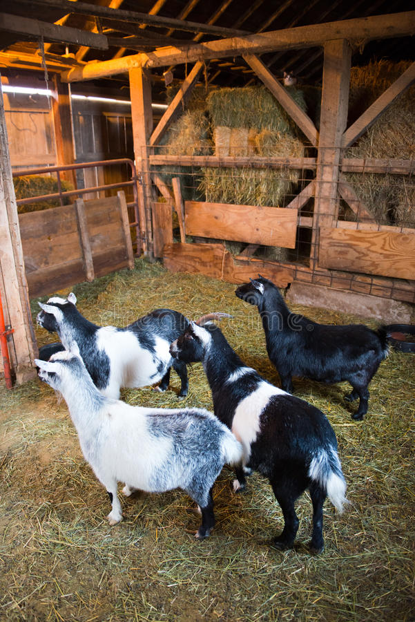 Download Farm Goats Inside A Barn Stock Image Of Raise