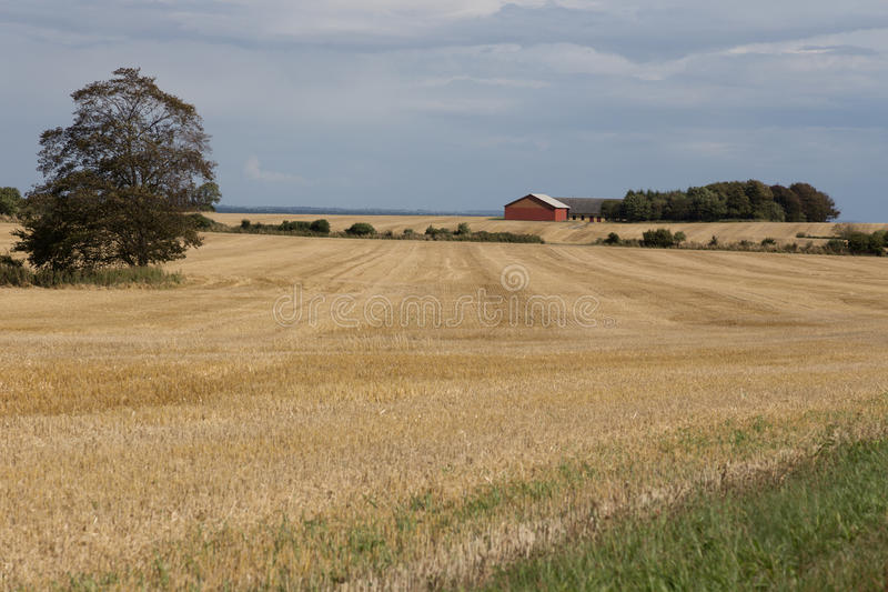 Farm in grain field. A lonely farm in the middle of the surrounding fields royalty free stock image