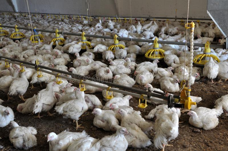 Farm for growing broiler chickens royalty free stock image