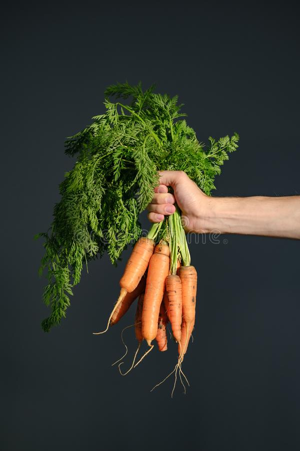 Farm hand holds bunch of fresh organic carrots on background royalty free stock image
