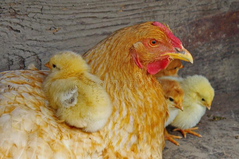 Farm. Hen with cute chicks. Farm. Careful hen with cute yellow chicks, at shelter of bad weather