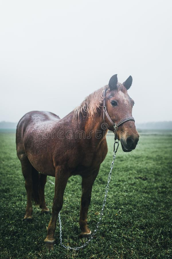Farm horse portrait on a moody autumn day. Forest in the background. Farm horse portrait on a moody autumn day. Forest and agriculture fields in the background royalty free stock images