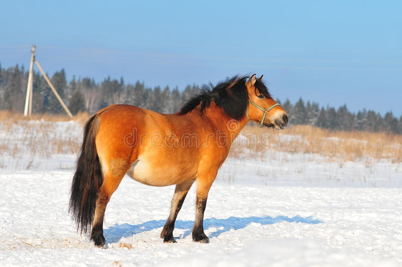 Farm Horse In Winter Paddock Stock Photography