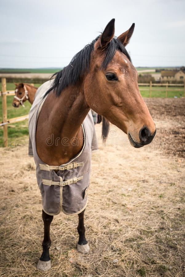 Farm Horses Blanketed Against the Chill royalty free stock image