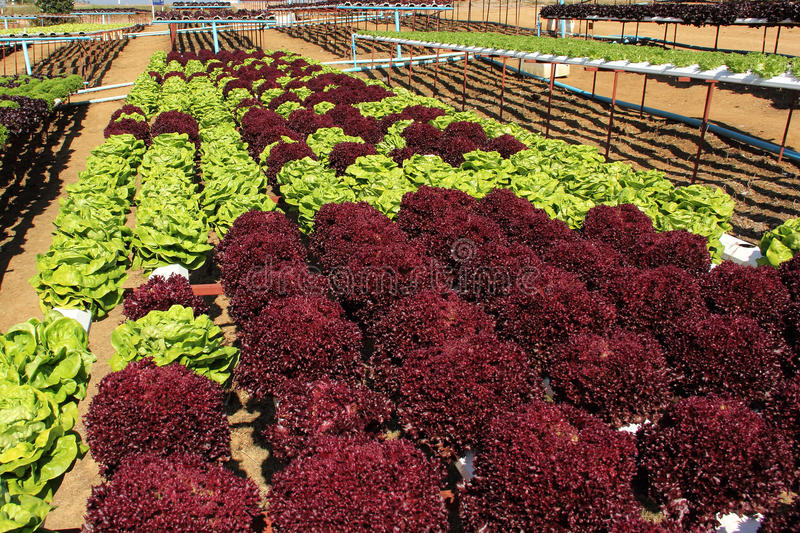 Farm of Hydroponic Plantation. In the noon royalty free stock photo