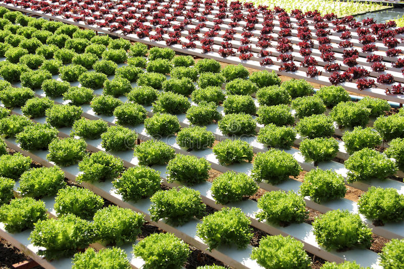 Farm of Hydroponic Plantation. In the noon royalty free stock image