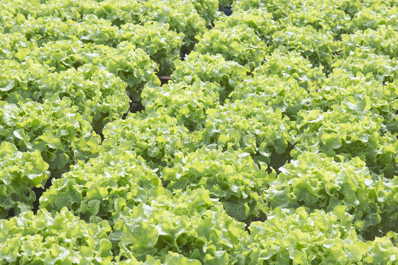 Farm of Hydroponic Plantation. In the noon royalty free stock photography