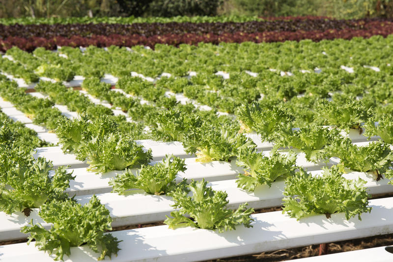 Farm of Hydroponic Plantation. On the noon royalty free stock photos