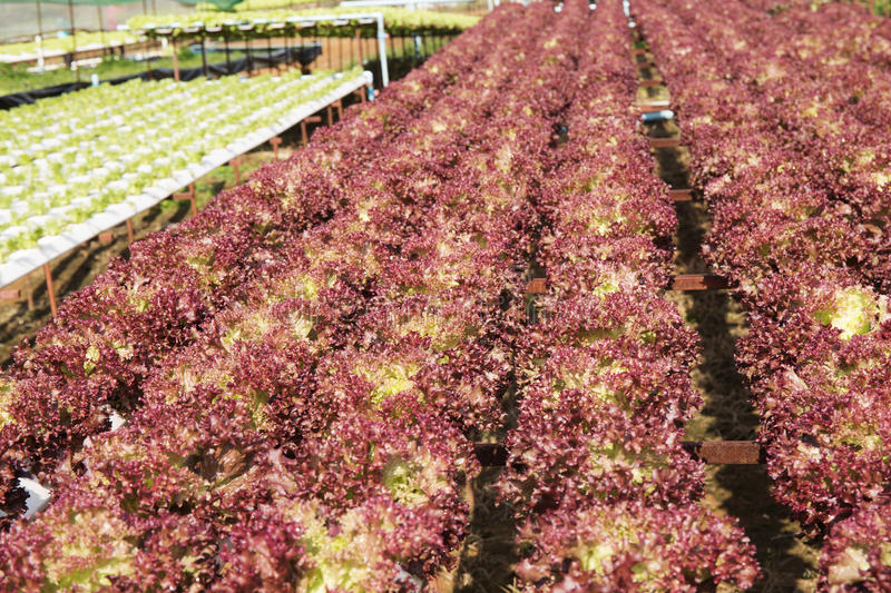 Farm of Hydroponic Plantation. On the noon stock image