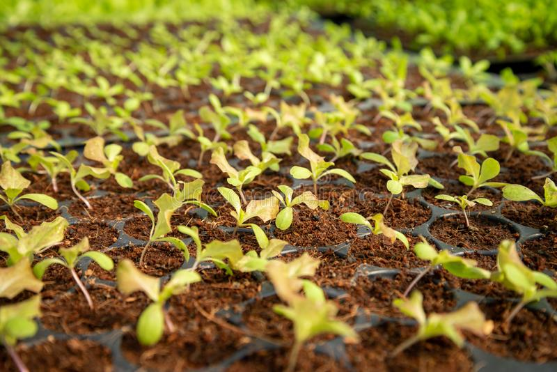 Farm of Hydroponic Plantation, Plants. In nursery tray, Organic food royalty free stock photos