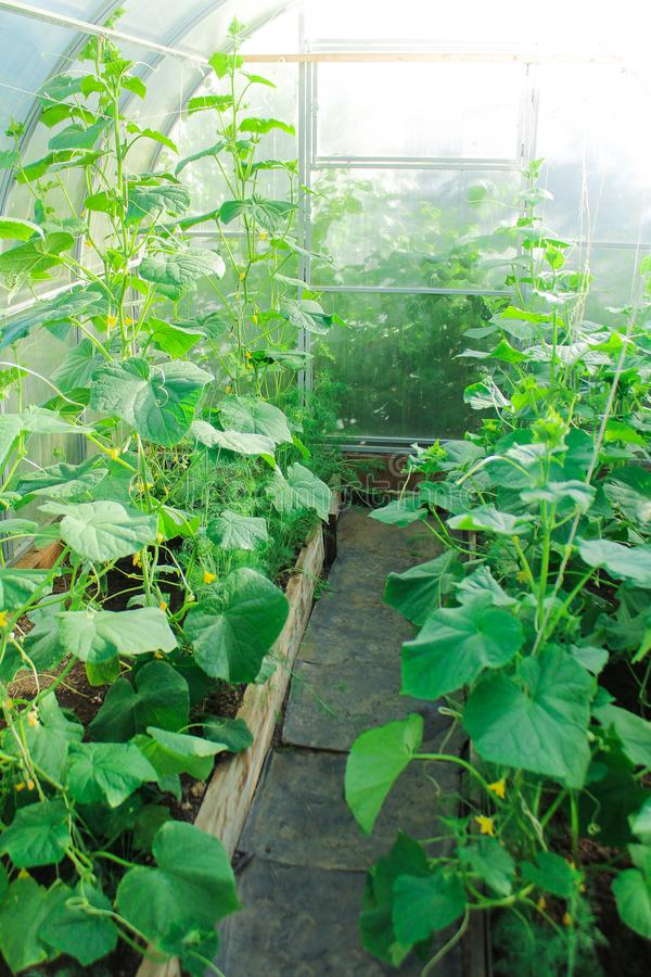 Farm life, growing vegetables in the greenhouse. how to grow cucumbers. seedlings, planting stock photography